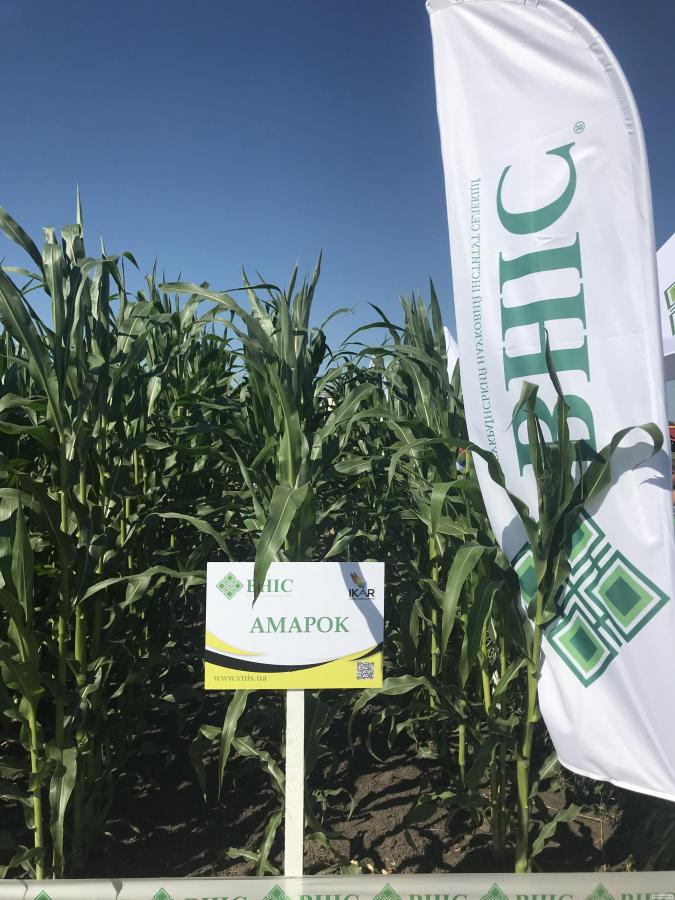 Знижка 15% на насіння кукурудзи ВНИС