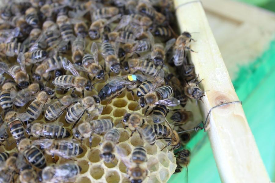 Продам бджоломатки карпатка 2018