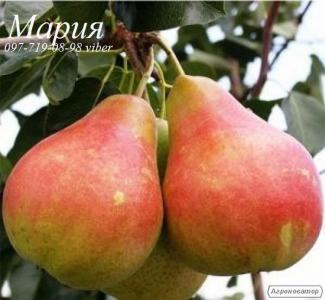 Саженцы яблони, груши, айвы
