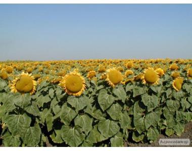 Оскіл насіння соняшнику