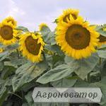 НАСІННЯ соняшника , кукурудзи, цукрового буряка
