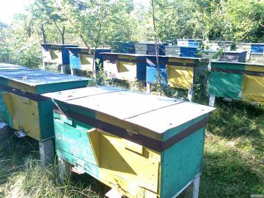 Бджолосім'ї, бджолопакети з доставкою