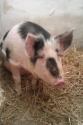 свиноматка миргородської породи