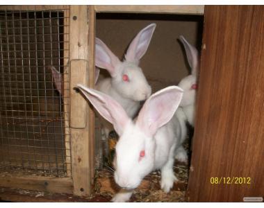 Продам кроликов белого панона
