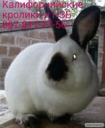 Племенные кролики Калифорнийские