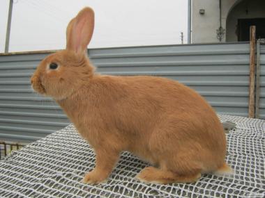 Кролики бургунці