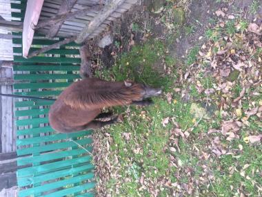 Продам пони, кобыла