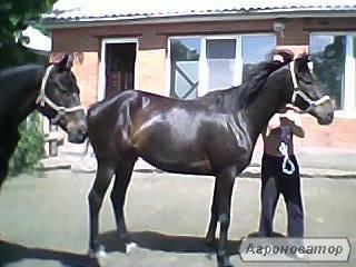 Англійська чистокровна кобила