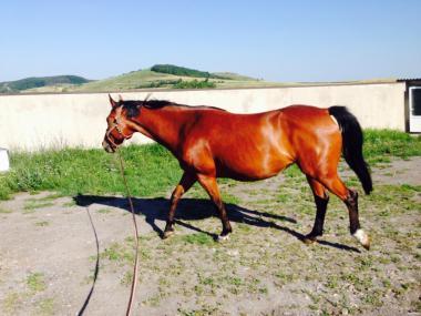 Лошади Украинской верховой породы