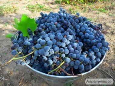Домашнє вино сорту Ізабелла - із Закарпаття. Урожай 2018 року.