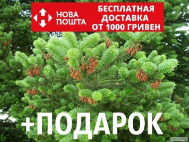 Пихта греческая семена (50 шт)(пихта кефалиниийская,Ábies cephalónicа)