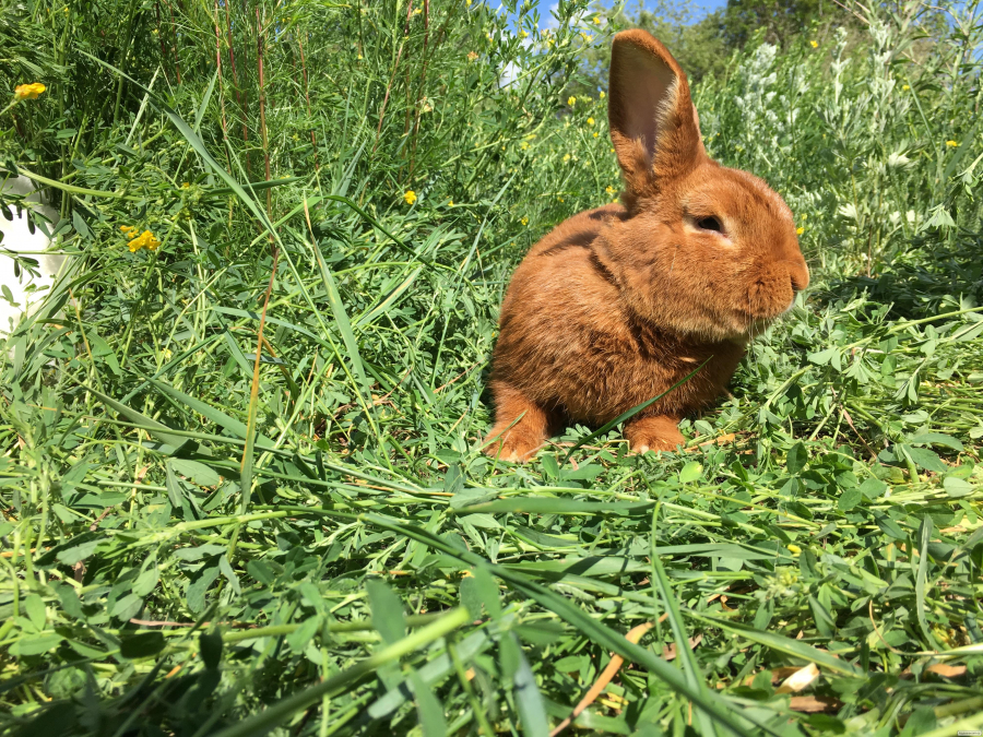 Кролики Новозеландський червоний НЗК