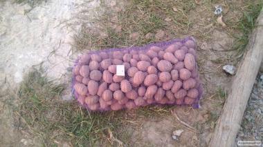 продам картофель 3,5 грн/кг от 3 сеток бесплатная доставка по киеву