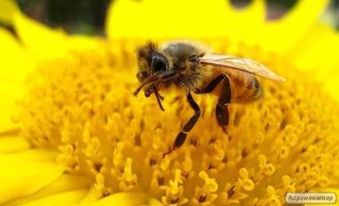 Продам бджолопакети 600шт