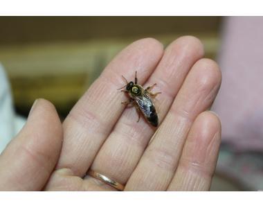Меченые пчеломатки породы Карпатка