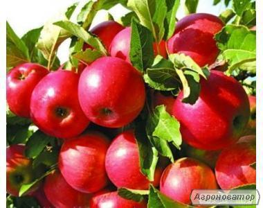 Розсадник пропонує саджанці плодових