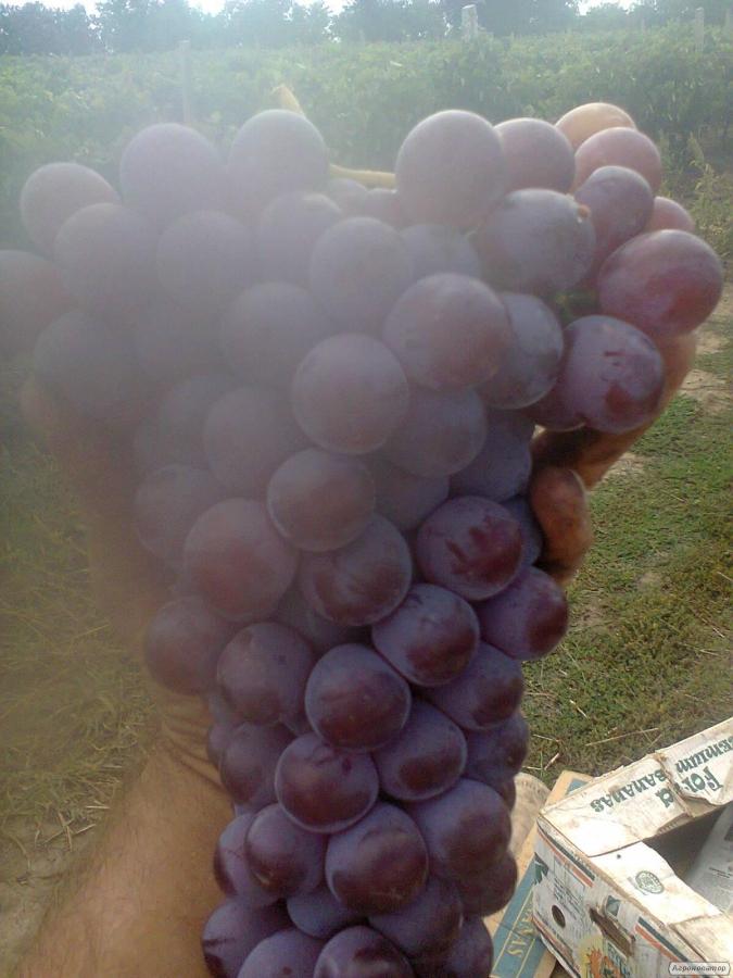 Виноград ізабельних, гібридних і європейських сортів.