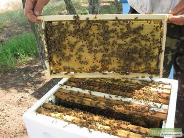 Продаються бджолопакети карпатської породи