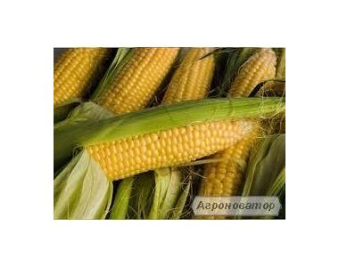 Насіння кукурудзи, гібрид