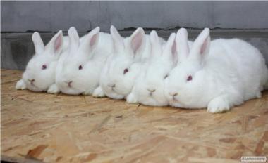 Продам кроликов НЗБ (Новозеландский белый)
