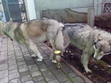 Хаскі щенята з племінного розплідника КСУ