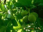 Продам саджанці грецького горіха
