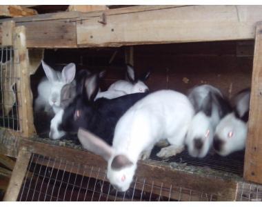 продам кроликов на стадо