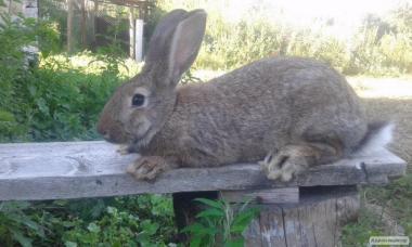 Кролики простие