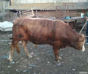 Продам быков