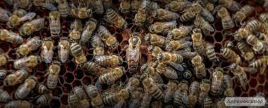продам пчеломаток карника