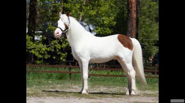 В продаже пони мерин пегий Голубоглазый