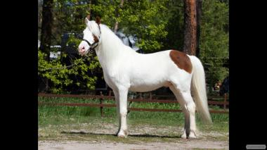 У продажу поні кобила рябий Блакитноокий