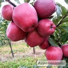 Саженец яблони РедЧиф