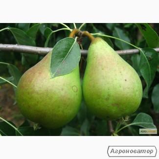 Саджанець груші Ноябрская