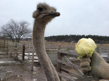 Південноафриканські страуси молодняк....