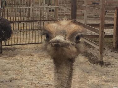Южноафриканские страусы, молодняк....