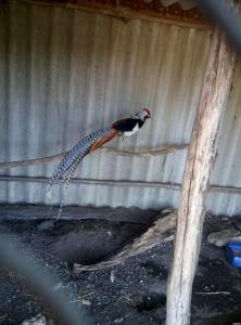 фазаны