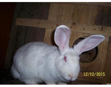 пропоную кролики породи термонська біла
