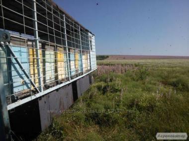Продаем пчеломатки 2017 года