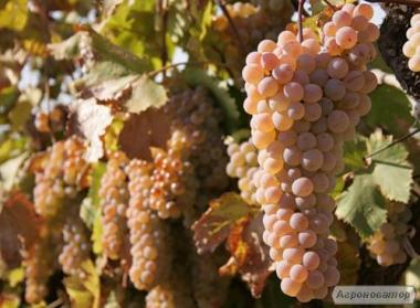 Натуральное вино Ркацители (кахетинская технология) с квеври, белое сухое