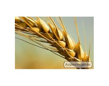 семена озимых пшениц (элита)