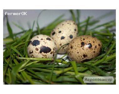 Інкубаційні яйця перепелів 10 порід.