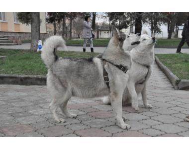продаю щенков Сибирская Хаски ( Хаски )