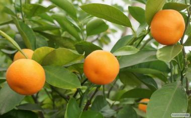 Мандарин, грейпфрут, клементин и другие цитрусы