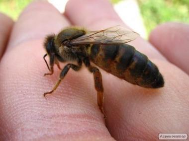 Пчеломатки Бакфаст поколения F-1!