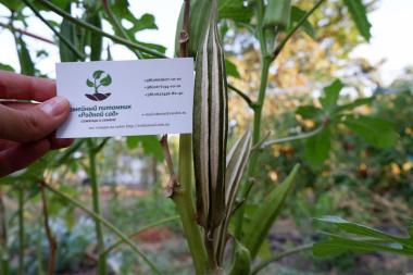 Бамия семена (20 штук) окра, Абельмош съедобный,гомбо,дамский пальчик