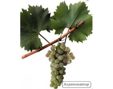 Саженцы винограда Белая Изабелла ананасная