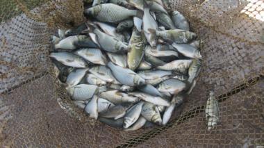 товарна жива риба  і зарибок