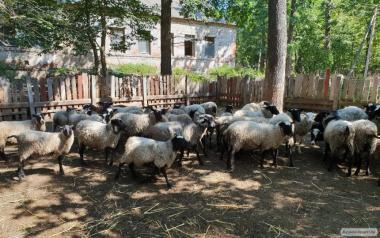 Продаємо баранів Романівської м'ясної породи на м'ясо