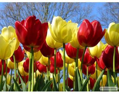 Продажа тюльпанов, саженцы, питомник, качественные